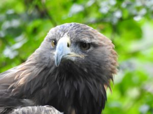 Belle the Golden Eagle